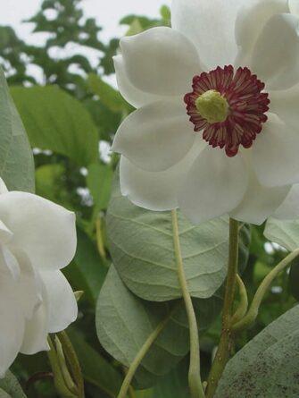 Magnolia sieboldii Plena HR