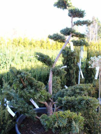 kääpiöjapaninmarjakuuri bonsai 150-175