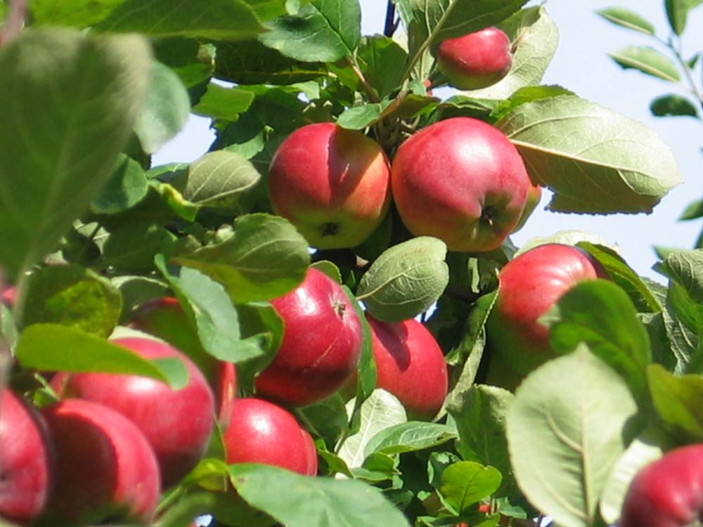 Vanhasta omenapuusta uusi puu