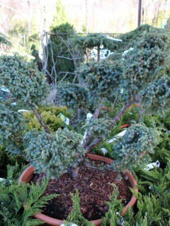 blue alps bonsai 60-70