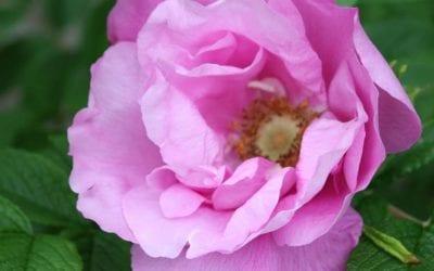 Ruusujen kasvatus
