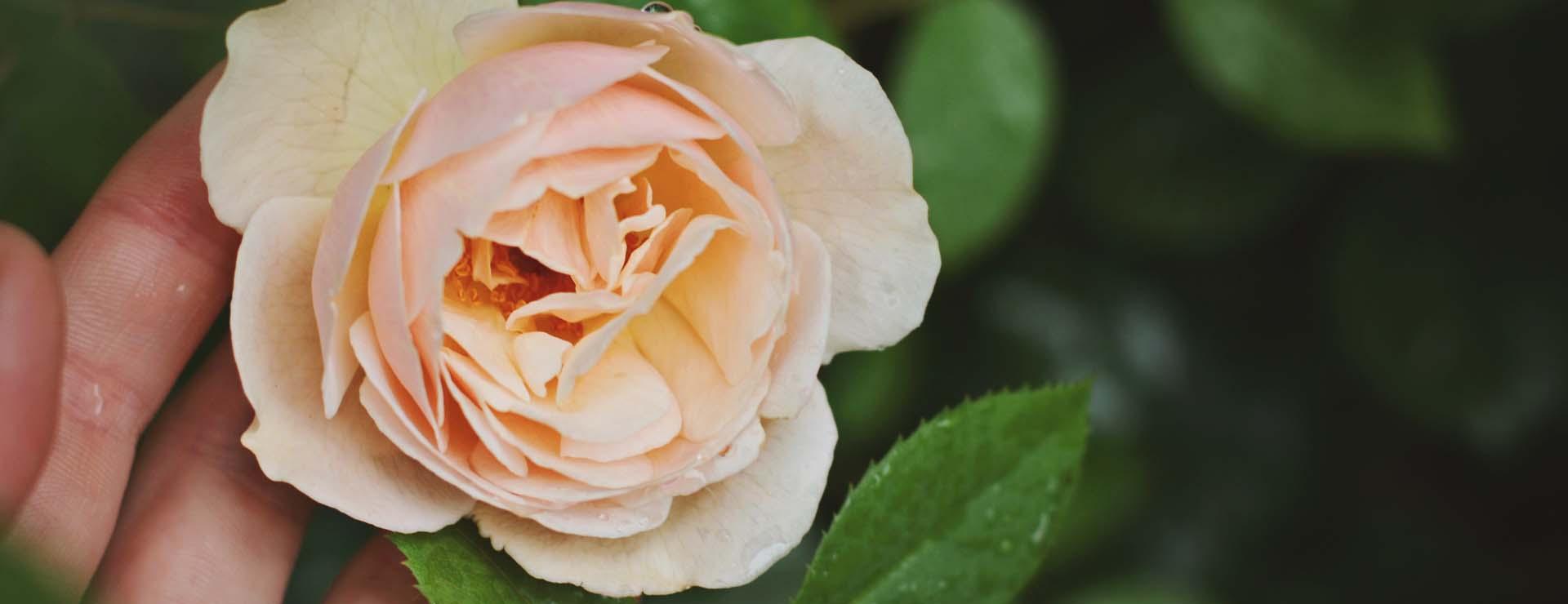 Pihastuttavat ruusut -50%