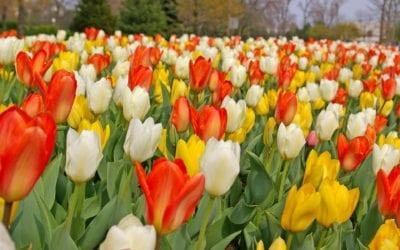Kukkasipuli-istusten väriteemat