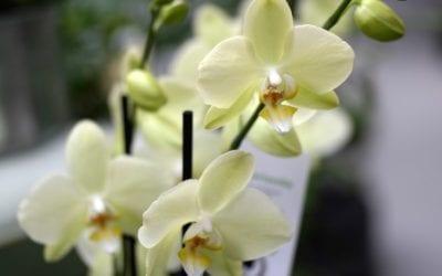 Saitko lahjaksi orkidean?