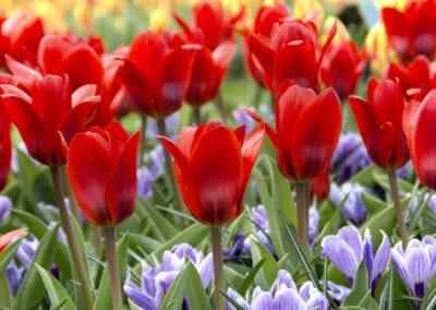 Tulipa Showwinner, Crocus King of the Striped