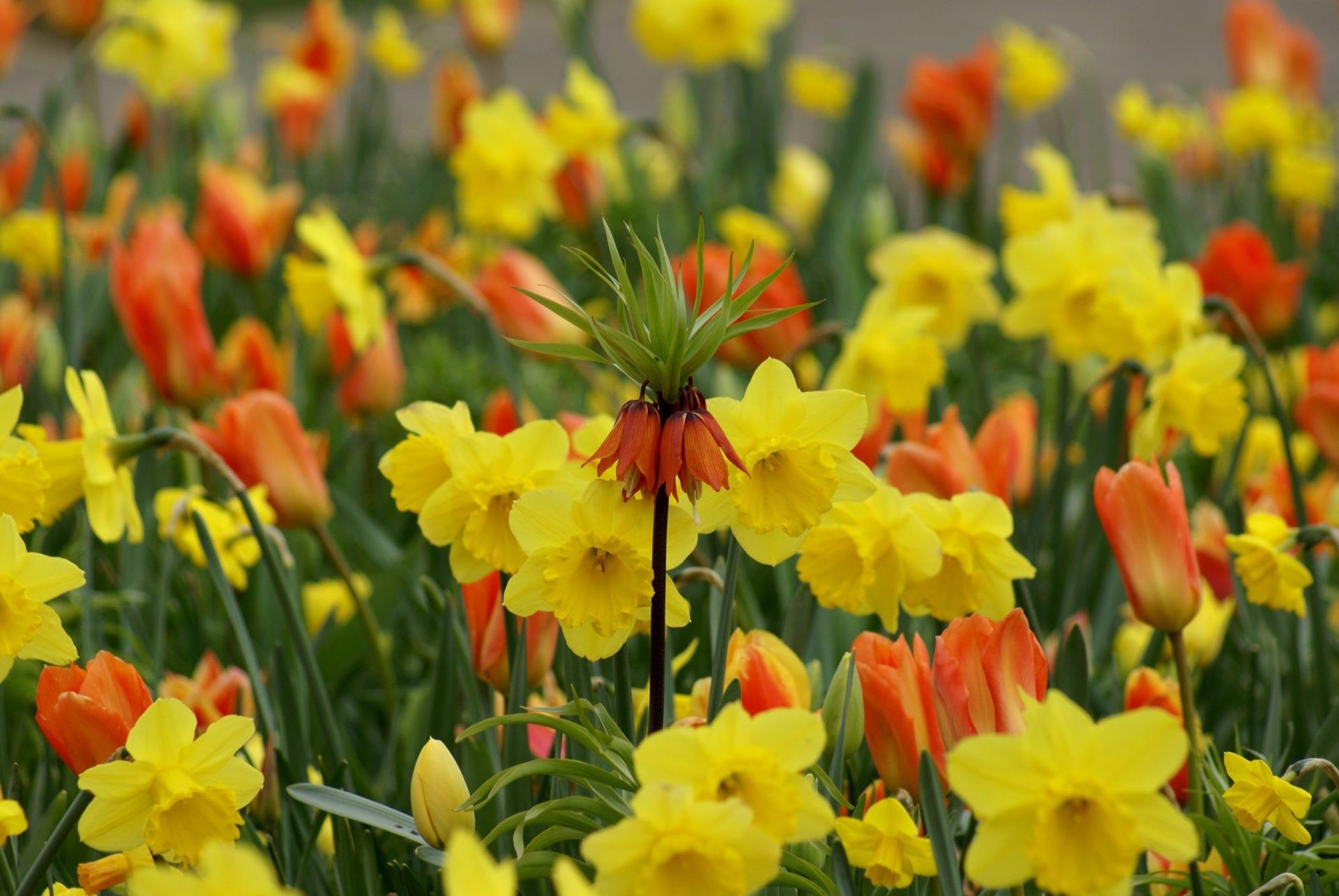 Narcissus, Tulipa & Fritillaria