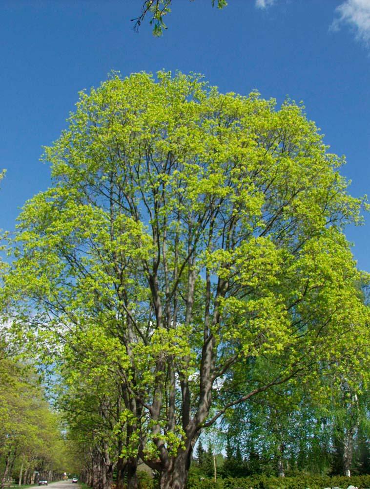 Lehtipuut Suomessa