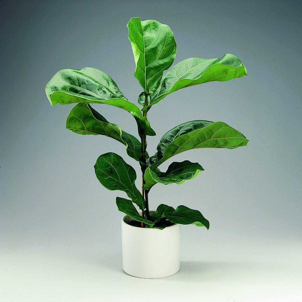 Фикус лировидный (лат. Ficus lurata)